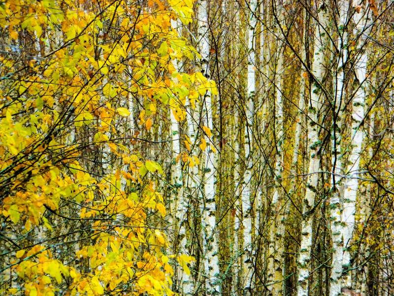 Bosque del abedul en Rusia central en la caída imagen de archivo