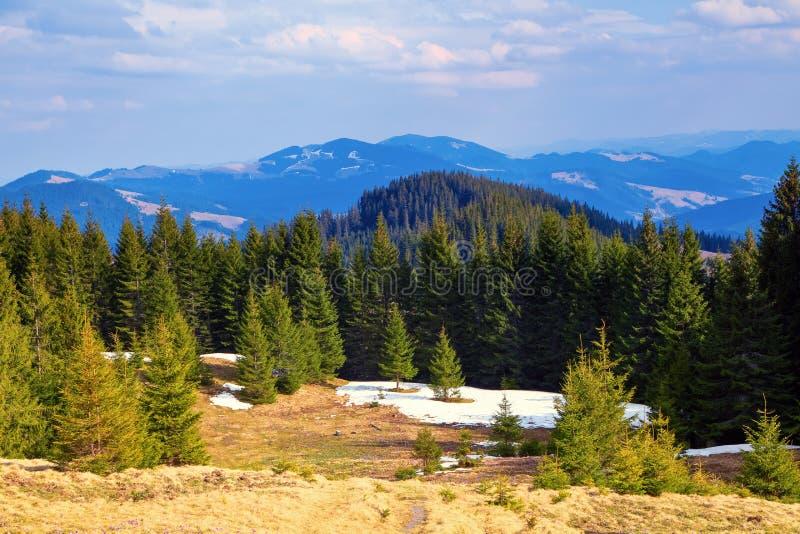 Bosque del abeto aquí y allá cubierto con nieve imágenes de archivo libres de regalías