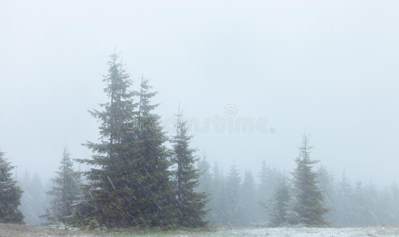 Bosque del abeto de la persona chapada a la antigua en nevada fotografía de archivo libre de regalías