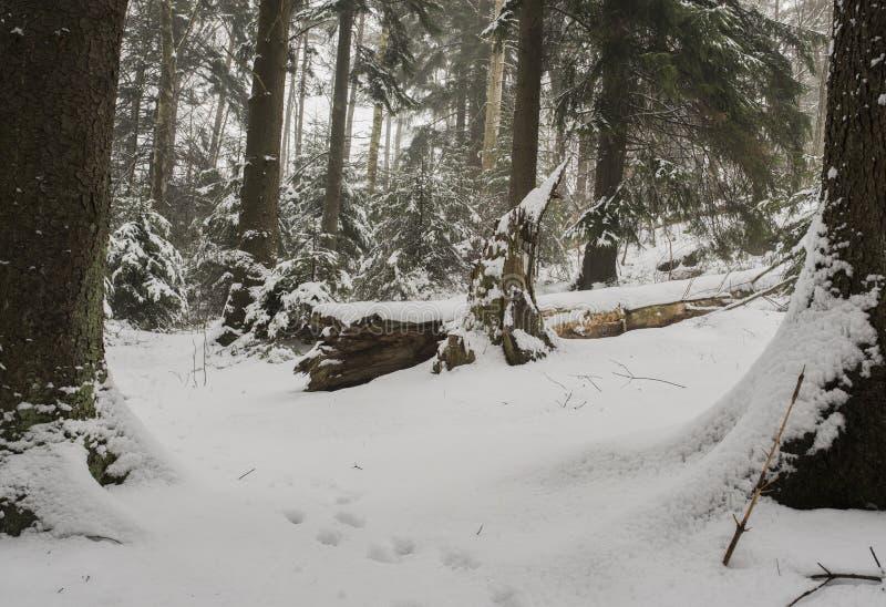 Bosque del abeto en invierno fotografía de archivo