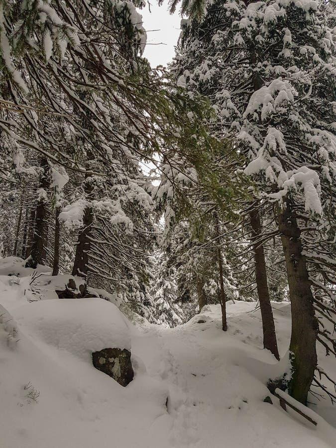 Bosque del abeto del invierno en nieve fotografía de archivo