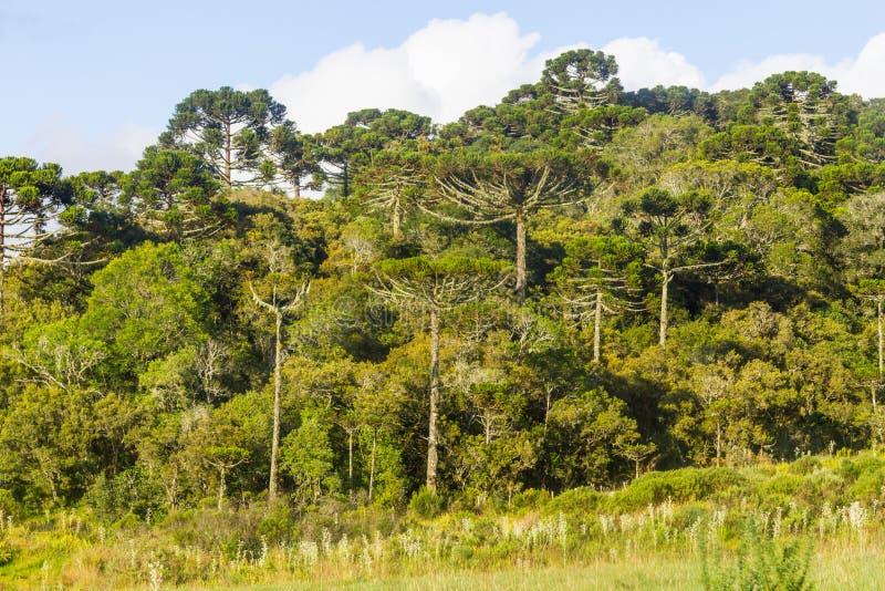 Bosque del angustifolia de la araucaria fotos de archivo