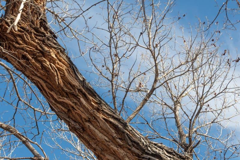 Bosque del Apache New México, detalle del tronco profundamente surcado de un árbol del cottonwood, ramas desnudas imagen de archivo