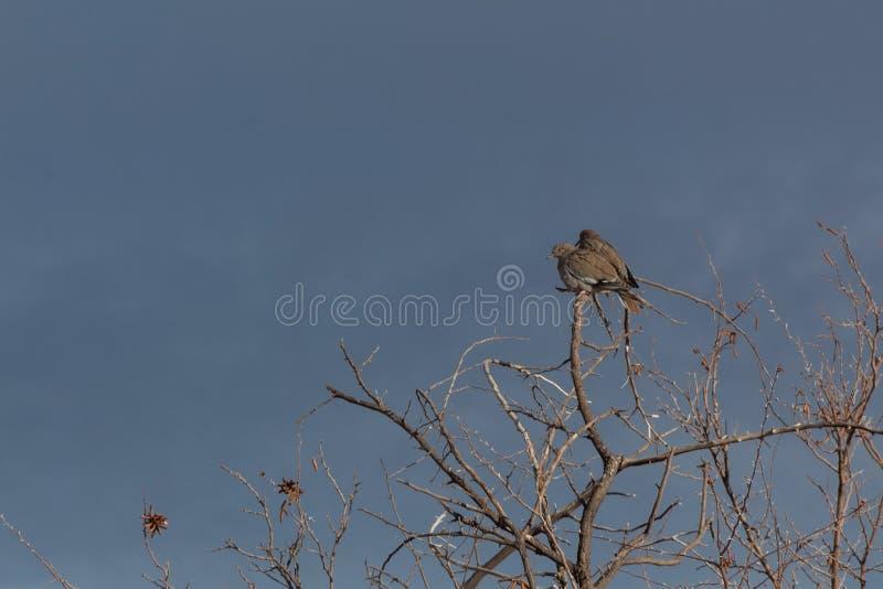 Bosque del Apache New México, par de paloma Blanco-coa alas Zenaida asiatica en árboles desnudos contra un cielo oscuro, invierno foto de archivo