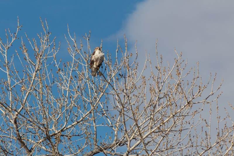 Bosque del Apache New México, regalis ferruginosos de Hawk Buteo que miran hacia fuera del top del árbol desnudo del cottonwood,  fotos de archivo libres de regalías