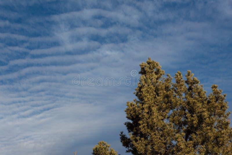 Bosque del Apache New México, top del árbol de pino del pinyon silueteado contra un cielo azul foto de archivo libre de regalías