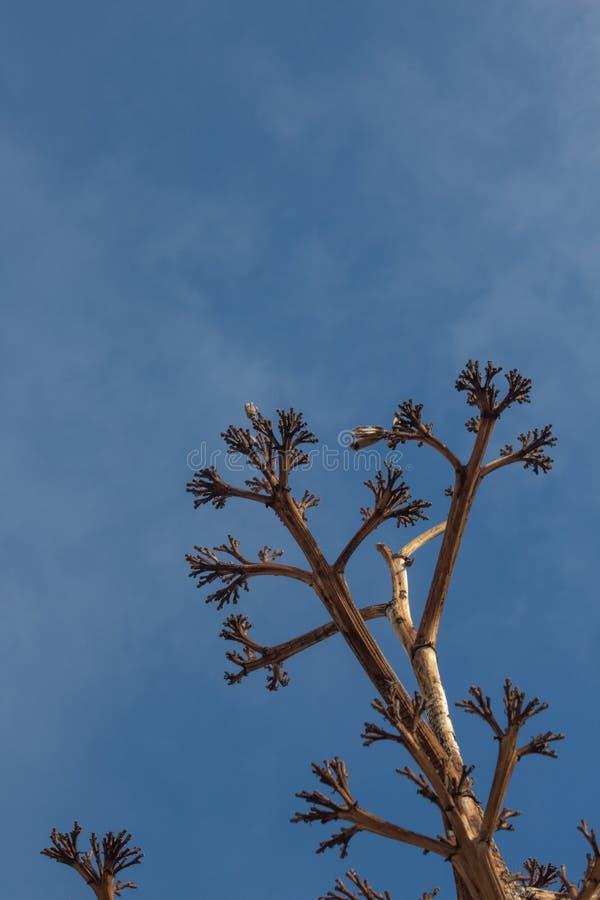 Bosque del Apache New mexico, baixa vista que olha acima na haste inoperante da flor da planta de século da agave imagens de stock