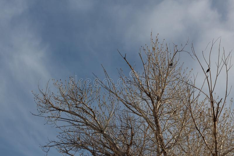 Bosque del Apache New mexico, copas de árvore do inverno com os melros contra o céu azul fotografia de stock