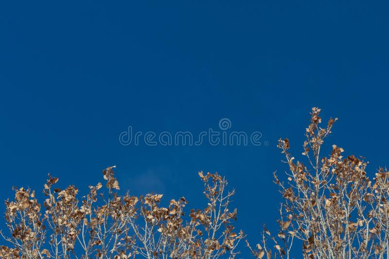Bosque del Apache New Mexico, dried leaves in treetops set against a brilliant blue sky. Horizontal aspect royalty free stock images