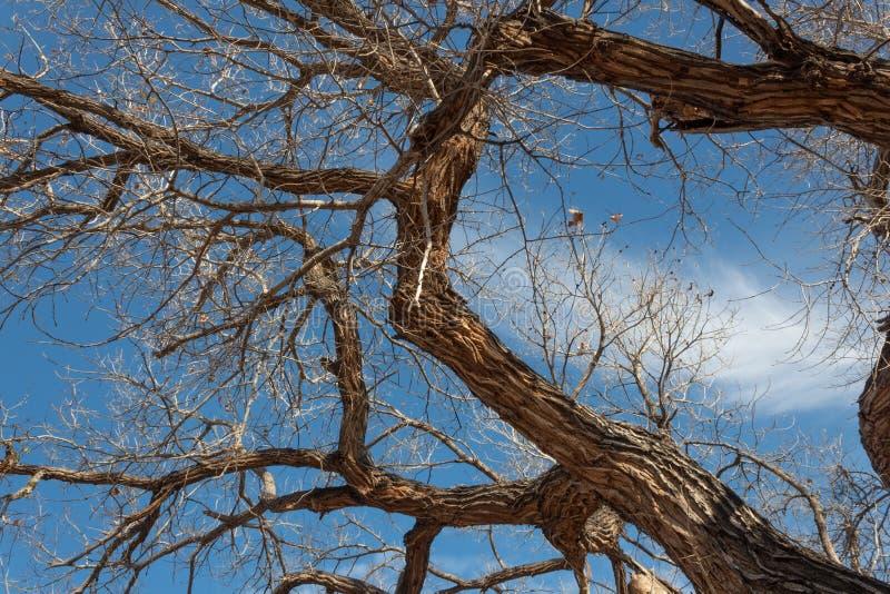 Bosque del Apache New mexico, pesadamente ramos textured de uma árvore do cottonwood no inverno contra o céu azul com nuvens imagens de stock