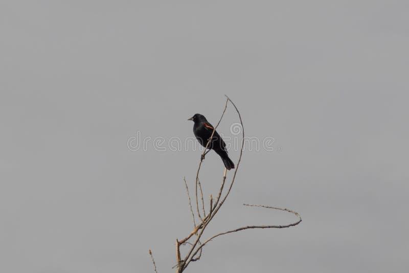 Bosque del Apache New mexico, phoeniceus voado vermelho do Agelaius do melro empoleirado em ramos desencapados, tons silenciados fotos de stock