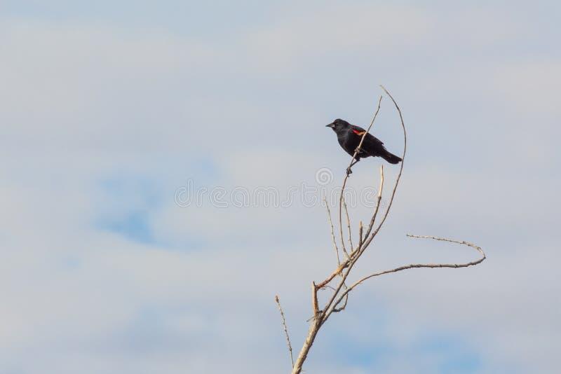 Bosque del Apache New mexico, phoeniceus voado vermelho empoleirado sobre ramos desencapados, c?u azul do Agelaius do melro imagens de stock royalty free