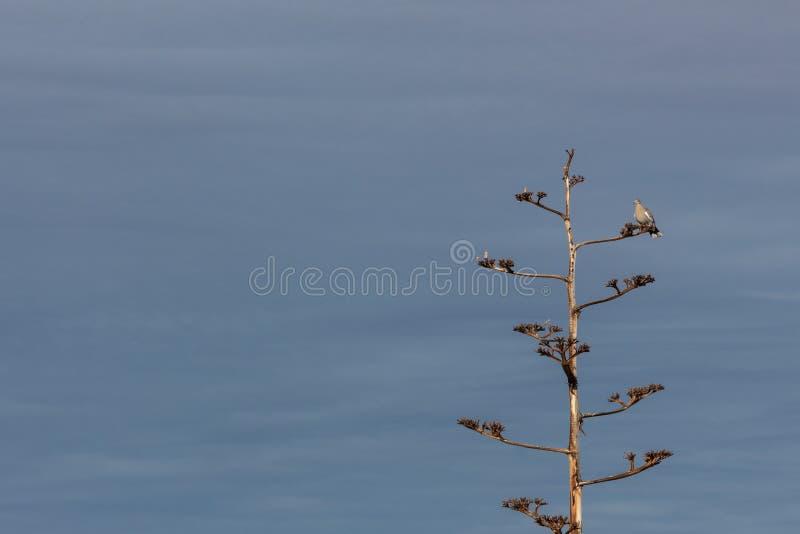 Bosque del Apache New mexico, pomba Branco-voada Zenaida asiatica em uma planta de século da agave contra um céu azul foto de stock royalty free