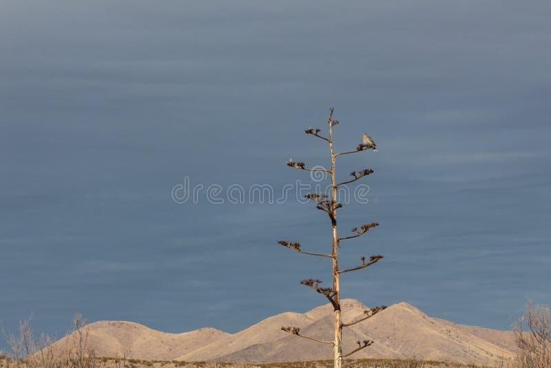 Bosque del Apache New mexico, pomba Branco-voada Zenaida asiatica em uma planta de século da agave contra um cume da montanha do  fotografia de stock royalty free