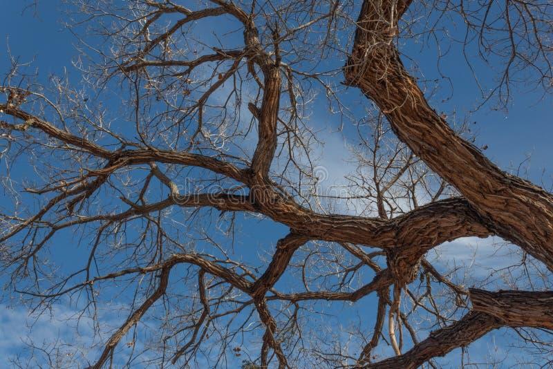 Bosque del Apache New mexico, ramos desencapados do cottonwood do gnarley contra um c?u azul v?vido imagens de stock