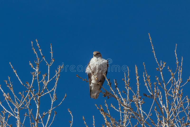 Bosque del Apache New mexico, regalis Ferruginous de Hawk Buteo em um ramo desencapado do cottonwood contra um céu azul profundo imagens de stock royalty free