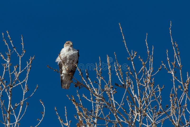 Bosque del Apache New mexico, regalis Ferruginous de Hawk Buteo, sol adiantado contra um céu azul vívido fotos de stock