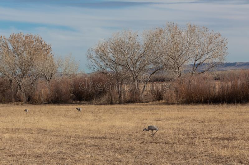 Bosque del Apache New Mexico, Sandhill cranes Antigone canadensis in field before cottonwoods and tall grasses. Horizontal aspect royalty free stock image