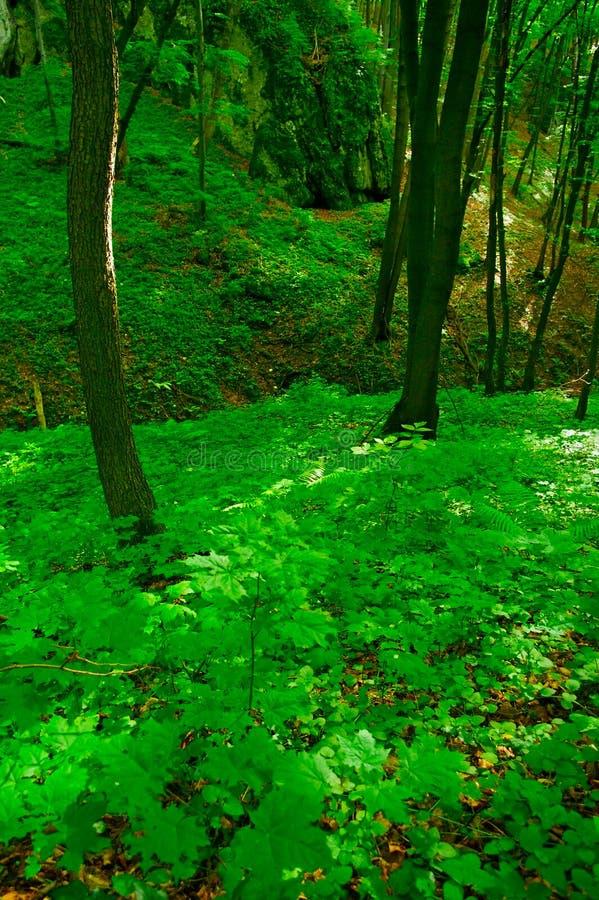 Bosque del Beechwood fotografía de archivo