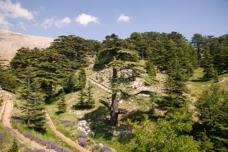 Bosque del cedro imagen de archivo