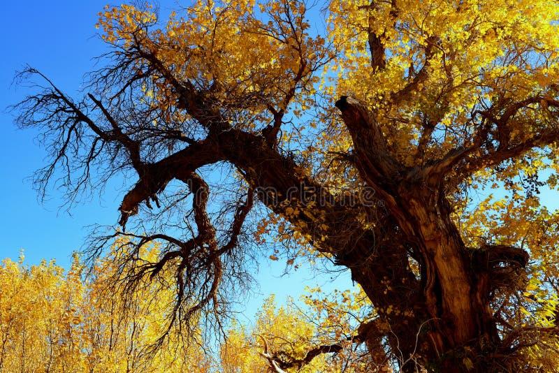 Bosque del diversifolia del Populus foto de archivo libre de regalías
