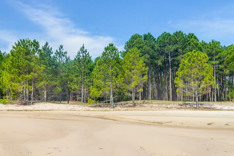 Bosque del elliottii del pinus en el lago del DOS Patos de Lagoa imágenes de archivo libres de regalías