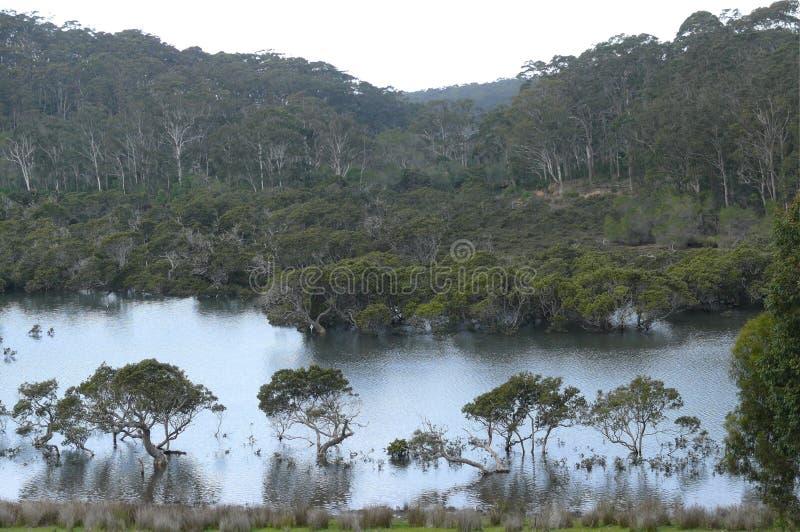 Bosque del eucalipto en el Mak de la KOH fotos de archivo libres de regalías