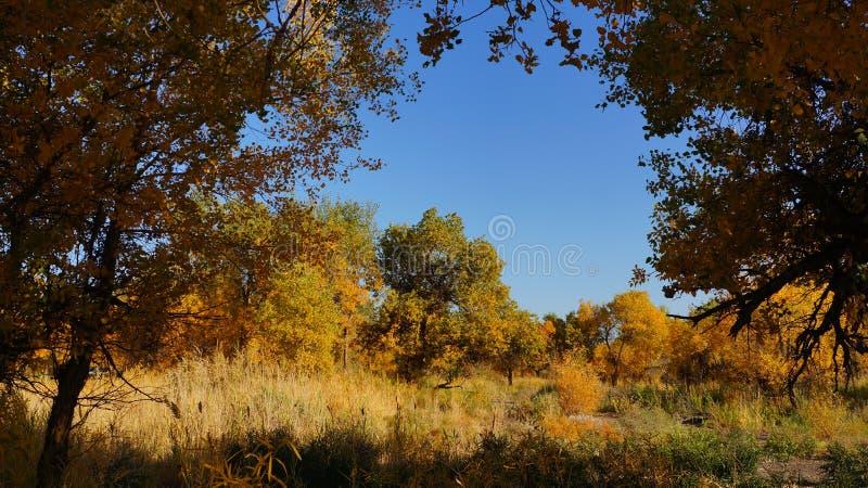 Bosque del euphratica del Populus en Xinjiang fotos de archivo libres de regalías