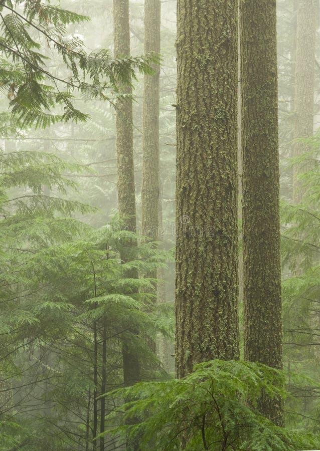 Bosque del Hemlock foto de archivo libre de regalías