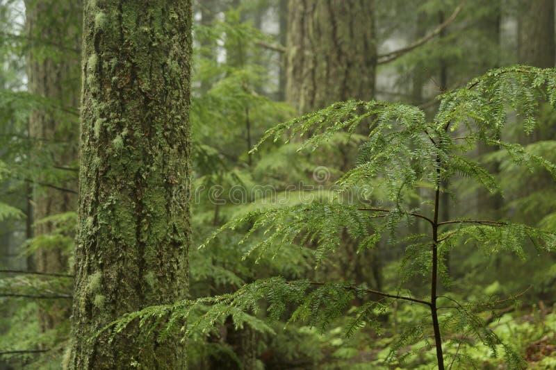 Bosque del Hemlock occidental imagen de archivo libre de regalías