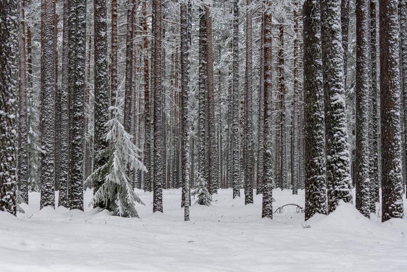 Bosque del invierno con los árboles de pino cubiertos con nieve y helada foto de archivo