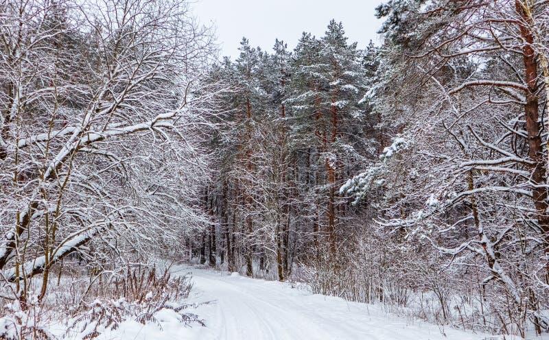 Bosque del invierno con los troncos hermosos de pinos y del camino nevoso blanco Porción del  de Ð de ramitas finas cubiertas co fotografía de archivo libre de regalías