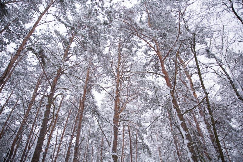 Bosque del invierno con nieve en árboles imagen de archivo