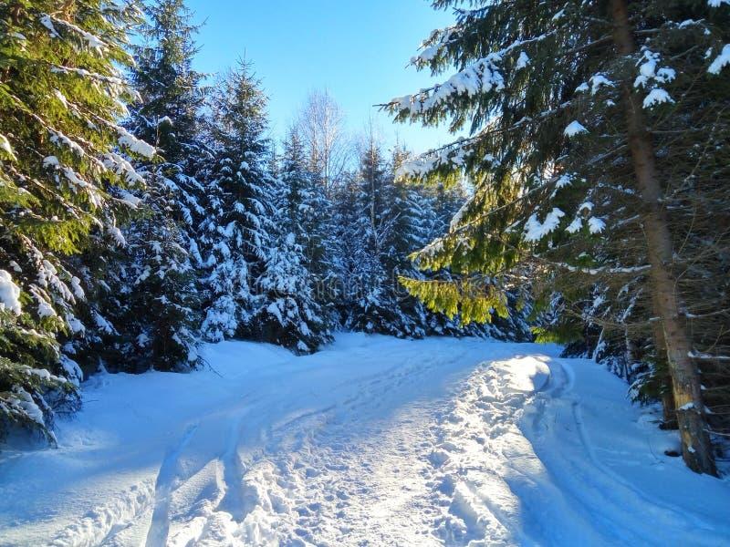 Bosque del invierno en Karpatian Hoverla fotografía de archivo libre de regalías
