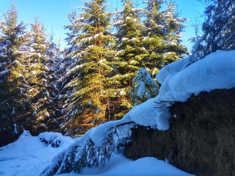 Bosque del invierno en Karpatian Hoverla fotos de archivo libres de regalías