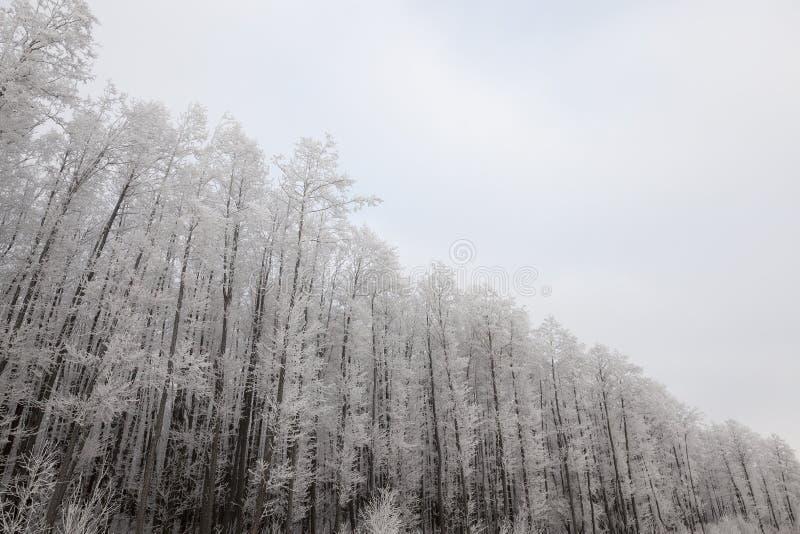 Bosque del invierno, helada foto de archivo libre de regalías