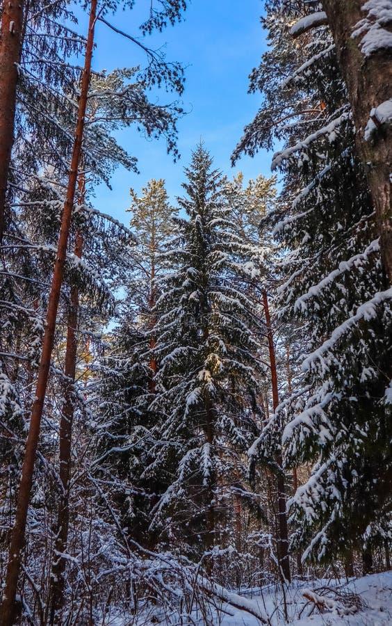 Bosque del invierno Nevado en un día soleado Piceas y pinos nevados en un fondo del cielo azul fotos de archivo libres de regalías
