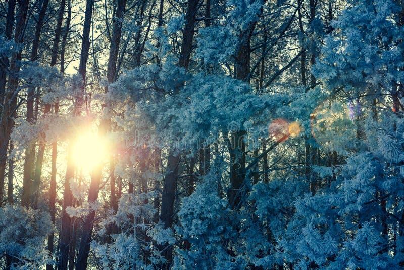 Bosque del invierno del pino en la salida del sol fotografía de archivo