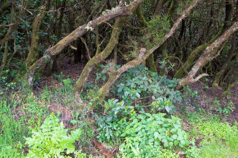 Bosque del laurel en el La Gomera fotos de archivo