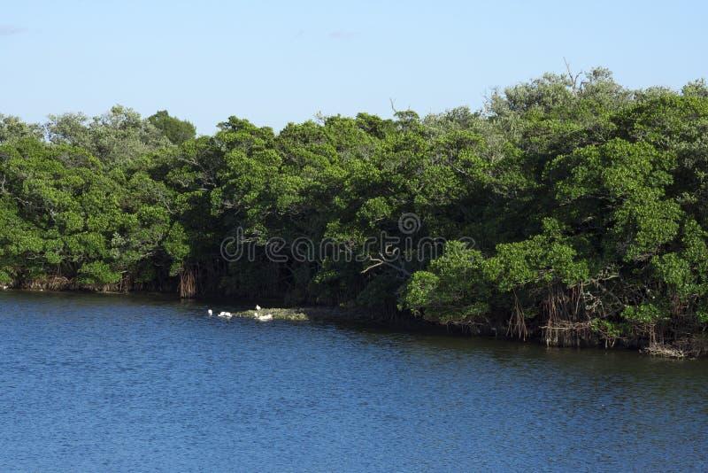 Bosque del mangle en la Florida foto de archivo
