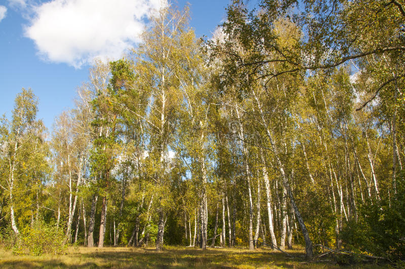 Bosque del otoño con el abedul fotos de archivo libres de regalías