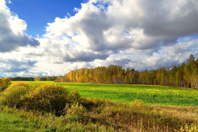 Bosque del otoño con las hojas amarillas delante de un campo de la colza, del paisaje con el cielo hermoso y de la naturaleza imagen de archivo