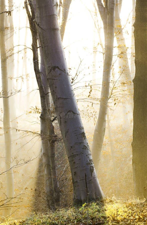 Bosque del otoño con niebla imágenes de archivo libres de regalías