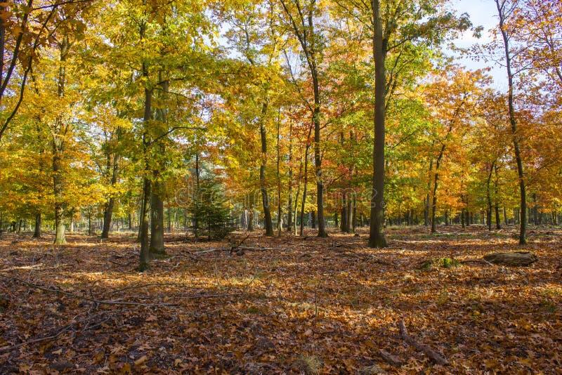 Bosque del otoño en el parque nacional De hoge Veluwe, los Países Bajos fotografía de archivo libre de regalías