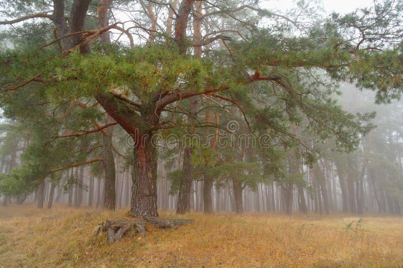 Bosque del otoño en la niebla de la mañana fotos de archivo
