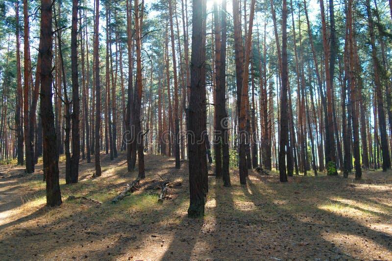 Bosque del otoño en la niebla de la mañana fotografía de archivo