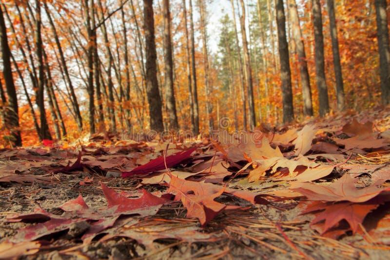 Bosque del otoño iluminado por el sol Rastro del bosque cubierto con las hojas caidas fotos de archivo libres de regalías