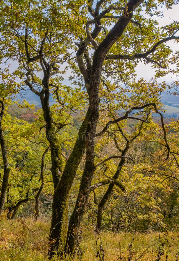 Bosque del otoño Roble viejo con el follaje de otoño amarillo fotos de archivo