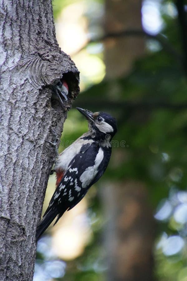 Bosque del pájaro que alimenta el polluelo Mamá y el pequeño hijo woodpecker fotografía de archivo