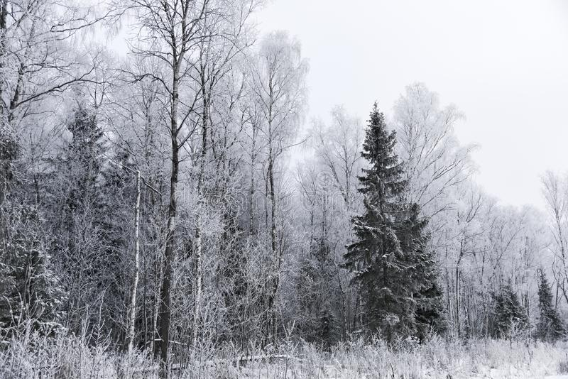 Bosque del paisaje escarchado en invierno fotografía de archivo